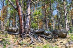 Pijnboom op de steile zandige kust Royalty-vrije Stock Afbeelding