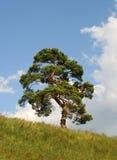 Pijnboom op een berghelling Royalty-vrije Stock Afbeeldingen