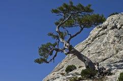 Pijnboom op een klip. Royalty-vrije Stock Fotografie