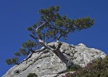 Pijnboom op een klip. Stock Fotografie