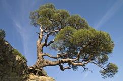 Pijnboom op een klip. Stock Afbeelding