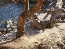 Pijnboom op een klip naast het overzees stock afbeeldingen