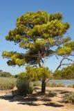 Pijnboom op Franse riviera stock fotografie