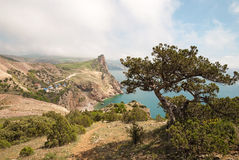 Pijnboom op hoge kust Royalty-vrije Stock Foto
