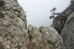 Pijnboom op klip in dichte mist Stock Foto's