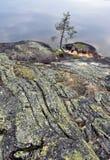 Pijnboom op rots dichtbij het meer stock foto