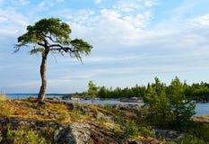 Pijnboom op steenkust Royalty-vrije Stock Afbeeldingen