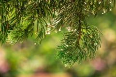 Pijnboom op vage kleurrijke bosregendruppels als achtergrond op pijnboom Stock Afbeelding