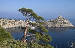 Pijnboom over het overzees. Stock Foto's