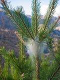 Pijnboom processionary nest op de bovenkant van een jonge pijnboom Royalty-vrije Stock Fotografie