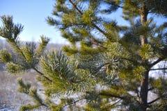 Pijnboom in rijp op een achtergrond van blauwe hemel Stock Afbeeldingen