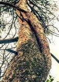 pijnboom royalty-vrije stock foto's