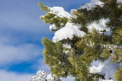 pijnboom tak in sneeuw royalty-vrije stock fotografie