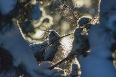 pijnboom tak in sneeuw royalty-vrije stock afbeelding