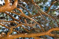 Pijnboom tegen de blauwe hemel royalty-vrije stock fotografie