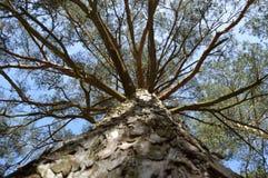 Pijnboom van onderaan Royalty-vrije Stock Foto