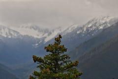 Pijnboom voor bergen stock foto