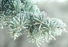 Pijnboom in vorst Stock Foto