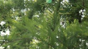 Pijnboombladeren in de windboom neer stock videobeelden
