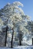 Pijnboombomen in de dag van de sneeuwdekking Stock Foto's