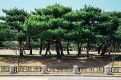 Pijnboombomen in de Nationale Begraafplaats van Seoel, Korea Stock Fotografie