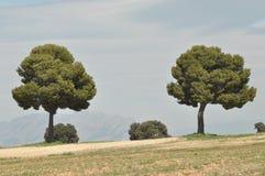 Pijnboombomen die in Spanje in open groeien Stock Afbeeldingen