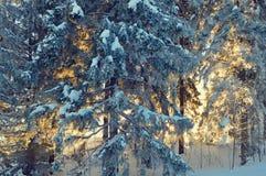 Pijnboombomen door de ochtendzon bij de winter worden aangestoken die stock fotografie