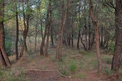 Pijnboombomen in een bos Stock Foto's
