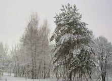 Pijnboombomen en berk door sneeuw worden behandeld die Stock Fotografie