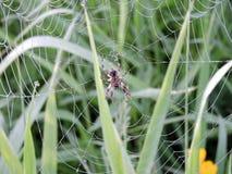 Pijnboombomen en spin netto in ochtend in moeras, Litouwen royalty-vrije stock foto