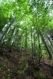 Pijnboombomen en varens die in diep hooglandbos groeien Royalty-vrije Stock Foto's