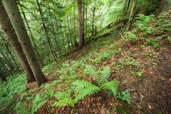 Pijnboombomen en varens die in diep Karpatisch hooglandbos groeien Stock Afbeelding