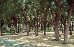 Pijnboombomen in het centrale park van Nha Trang Vietnam Royalty-vrije Stock Afbeeldingen