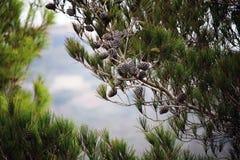 Pijnboombomen met kegels tegen de blauwe hemel Bruine kegels op pijnboom of zwarte pijnboom Mooie lange naalden op tak stock afbeelding