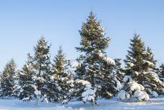 Pijnboombomen met sneeuw Stock Foto's