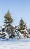 Pijnboombomen met sneeuw Stock Foto