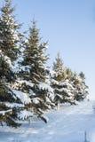 Pijnboombomen met sneeuw Royalty-vrije Stock Fotografie