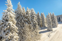 Pijnboombomen met sneeuw op Kopaonik-berg in Servië worden behandeld dat Royalty-vrije Stock Fotografie