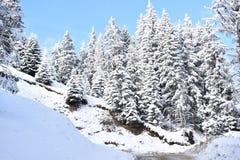Pijnboombomen met sneeuw worden gevuld die Stock Afbeeldingen