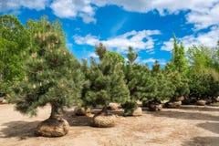 Pijnboombomen op boomlandbouwbedrijf Royalty-vrije Stock Foto