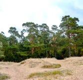 Pijnboombomen op een zandige heuvel stock fotografie