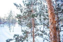 Pijnboombomen in Siberische Gemeenschap Royalty-vrije Stock Foto's