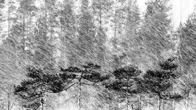Pijnboombomen, Sneeuwval Royalty-vrije Stock Afbeelding