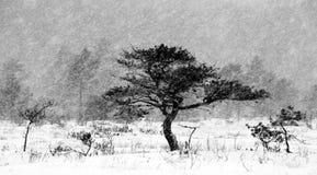 Pijnboombomen, Sneeuwval Stock Afbeelding