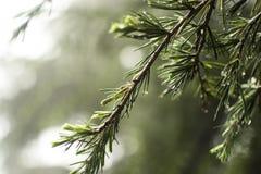 Pijnboomboom bij regen Stock Fotografie