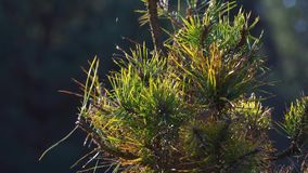 Pijnboomboom bij zonsondergang in het de lentebos stock video