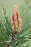 Pijnboomboom in de lente Stock Afbeelding