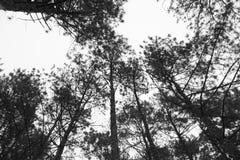 Pijnboomboom in de mist Stock Foto