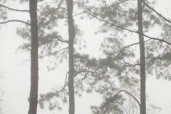 Pijnboomboom in de mist Stock Fotografie