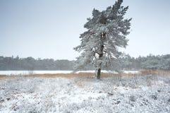 Pijnboomboom door meer in sneeuw Royalty-vrije Stock Afbeeldingen